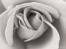 Monochrome_Rose,_11.11.13