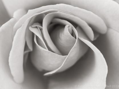 Monochrome_Rose,_11.11.13