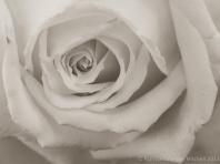 Monochrome_Rose,_11.25.13