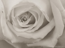 Monochrome_Rose,_11.25.13