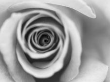 Monochrome_Rose,_4.21.14
