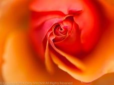 Municipal_Rose_Garden-_Anna's_Promise,_7.4.14