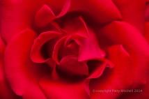 Municipal_Rose_Garden-_Artistry_(III),_6.6.14