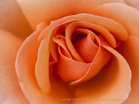 Municipal_Rose_Garden-_Brandy,_11.11.13