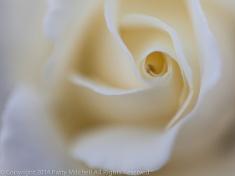Municipal_Rose_Garden-_Class_Act,_9.15.14