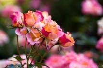 Municipal_Rose_Garden-_Daybreaker,_4.28.14