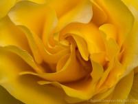 Municipal_Rose_Garden-_Doris_Day,_6.6.14