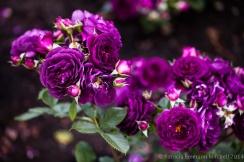 Municipal_Rose_Garden-_Ebb_Tide,_4.28.14