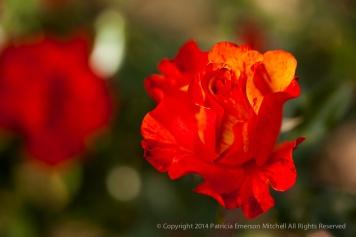 Municipal_Rose_Garden-_Fired-Up,_11.11.13