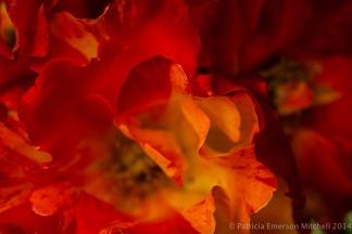 Municipal_Rose_Garden-_Fired_Up,_5.7.14