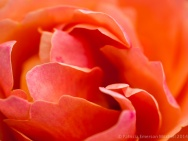 Municipal_Rose_Garden-_First_Shot-_Anna's_Promise,_5.7.14