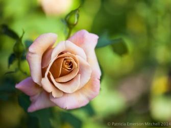 Municipal_Rose_Garden-_Koko_Loco,_9.10.14