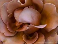 Municipal_Rose_Garden-_Koko_Loco_(I),_4.28.14