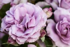 Municipal_Rose_Garden-_Love_Song,_5.7.14