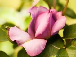Municipal_Rose_Garden-_Love_Song_(I),_4.18.14