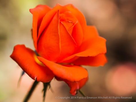 Municipal_Rose_Garden-_Marina,_9.29.14