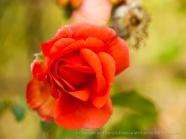 Municipal_Rose_Garden-_Orange_Rose,_11.11.13