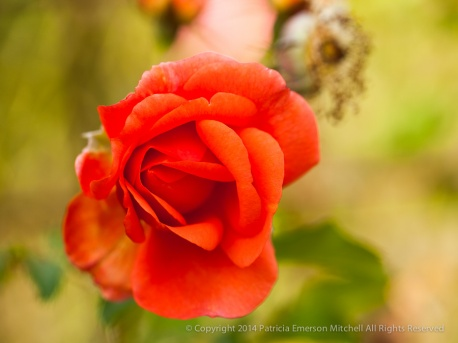Municipal_Rose_Garden-_Orange_Rose,_11.11.13