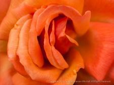Municipal_Rose_Garden-_Remember_Me,_11.11.13