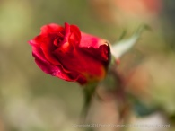 Municipal_Rose_Garden-_Solitude,_9.29.14