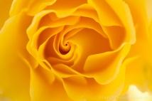 Municipal_Rose_Garden-_Sparkle_&_Shine,_5.27.14