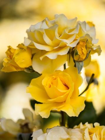 Municipal_Rose_Garden-_Sparkle_&_Shine,_5.7.14