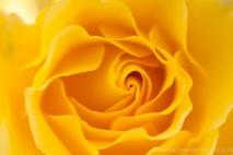 Municipal_Rose_Garden-_Sparkle_&_Shine_(II),_5.27.14