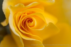 Municipal_Rose_Garden-_Sparkle_&_Shine_(I),_11.18.14
