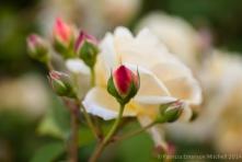Municipal_Rose_Garden-_Teasing_Georgia,_4.28.14