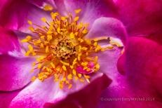 Municipal_Rose_Garden-_Wild_Blue_Yonder,_7.4.14