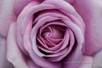 Municipal_Rose_Garden_Test_Rose,_X-145-A1,_7.4.14