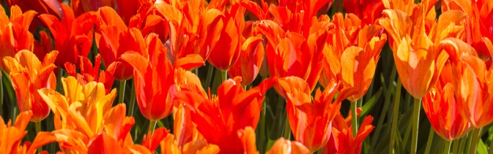 Narrow_Tulip_Header.jpg