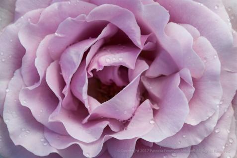 Neptune_Rose_(III),_8.20.15