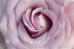 Neptune_Rose_(I),_8.19.15