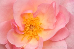 Nymphenburg Rose (III), 4.17.17