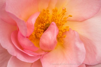 Nymphenburg Rose (II), 4.17.17