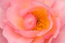 Nymphenburg Rose (I), 4.17.17