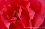 October_Rose,_10.20.13