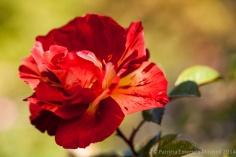 October_Rose,_10.30.13