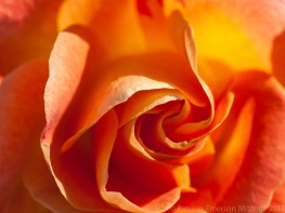 Orange_January_Rose