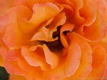 Orange_Rose-_5.14.2013