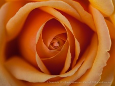Orange_Rose,_10.15.14 copy