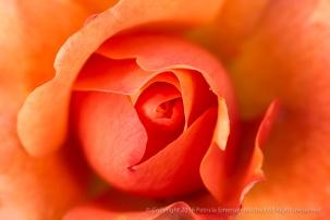 Orange Rose, 10.17.16