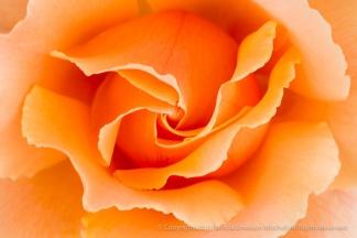Orange Rose, 4.12.16