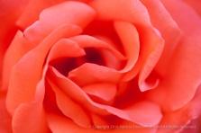 Orange Rose, 5.6.15