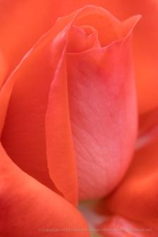 Orange Rose (II), 5.15.18