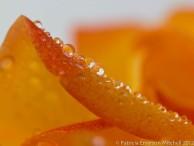 Orange_Rose_Petal_with_Rain_Drops