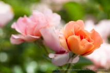 Orange_&_Pink_Test_Roses,_8.19.15