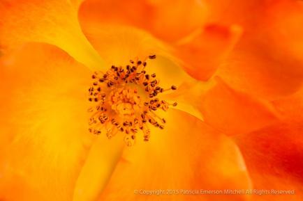Orange_&_Yellow_Rose,_11.4.14