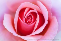 PInk_Rose_(I),_5.4.15